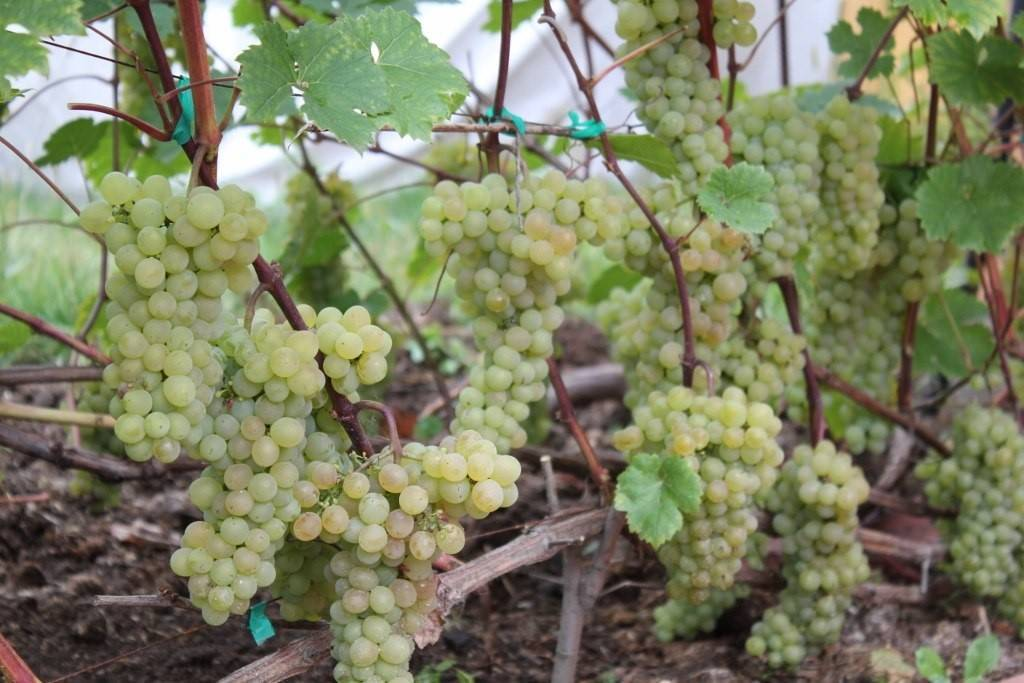 Описание сорта винограда «кристалл» с фото