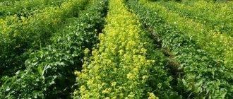 Сидераты весной под картофель горчица