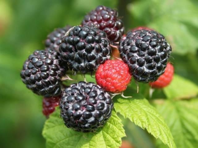 О садовой малине Блэк Джевел: описание сорта, особенности по уходу