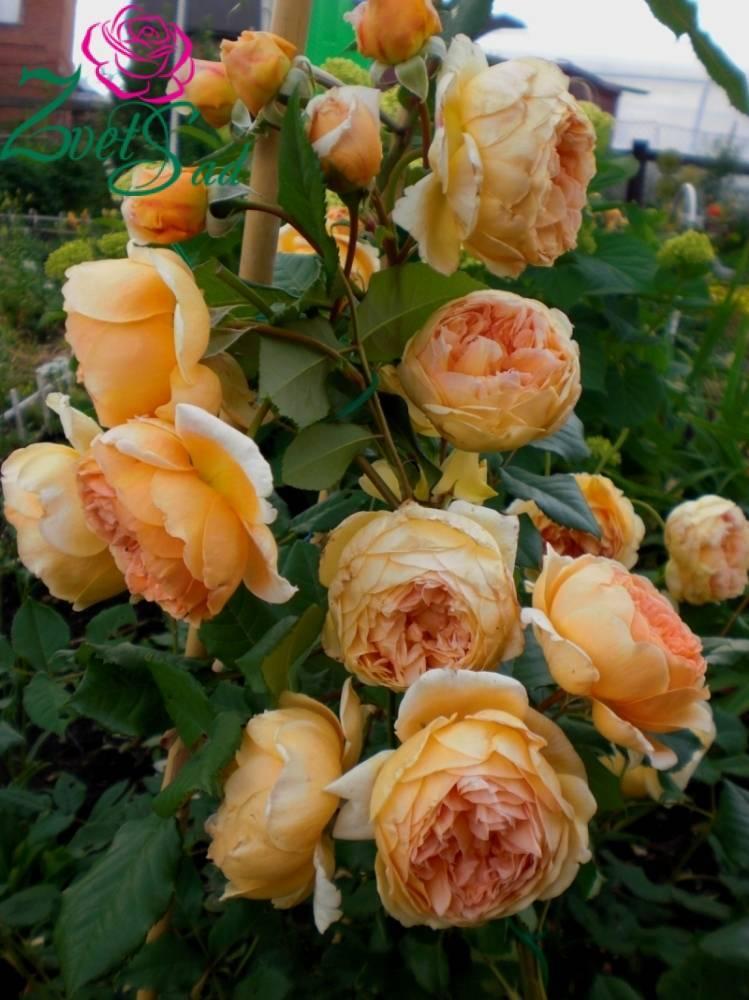 Как вырастить розу принцесса маргарет