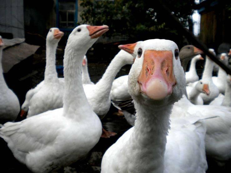 Сколько лет живут гуси?