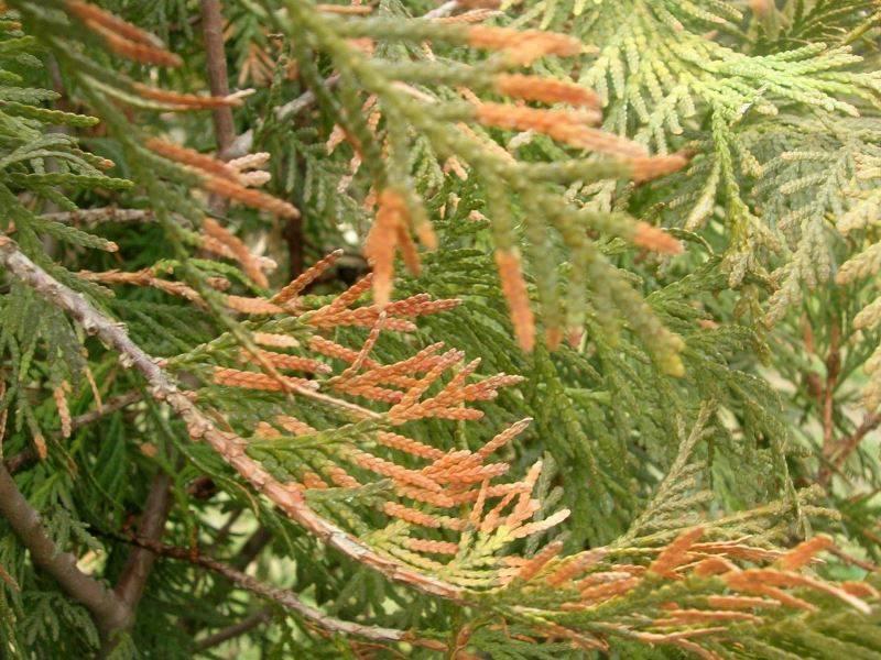 Болезни можжевельника (19 фото): почему желтеет и сохнет хвоя снизу и что делать? как спасти растение весной от мучнистого червеца?