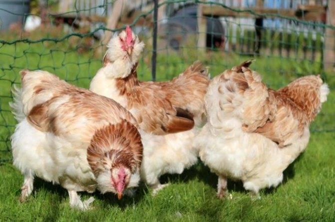 Фавероль (порода кур): фото, описание, разведение, отзывы
