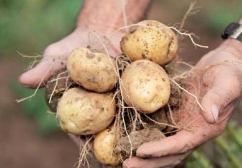 Описание и характеристика картофеля сорта елизавета, особенности его выращивания