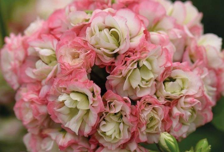 Пеларгонии appleblossom (23 фото): описание пеларгоний fischers и ungarisk, rosebud и westdale, «найт» и других разновидностей
