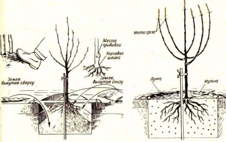 Войлочная вишня: посадка и уход