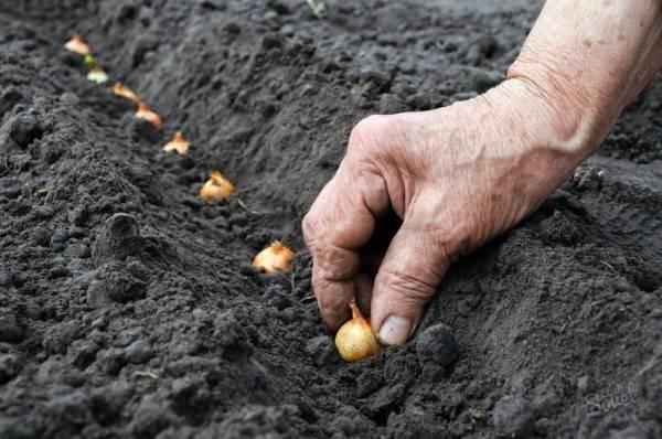 Посадка лука-севка в открытый грунт весной 2020 года: сроки, когда и как правильно сажать