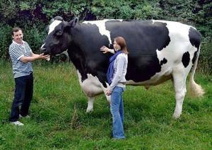 Корова голштинской породы - рекордсмен по удоям