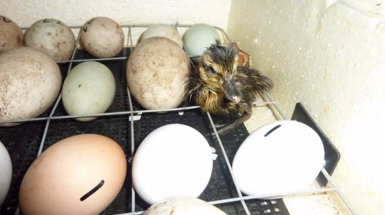 Правила и особенности инкубации утиных яиц в домашних условиях