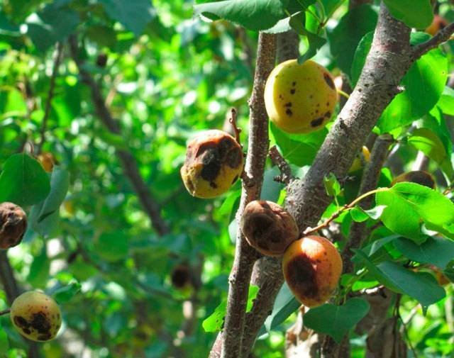 Чем обработать абрикос от вредителей и болезней