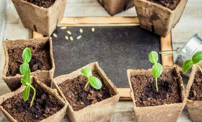 Когда сеять огурцы на рассаду для теплицы - подробная информация!