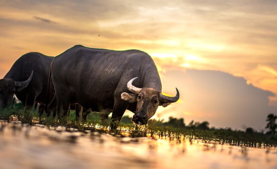 Домашний буйвол: особенности содержания и ухода
