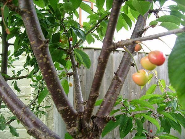О черешне Ревна: описание и характеристики сорта, посадка, уход, выращивание