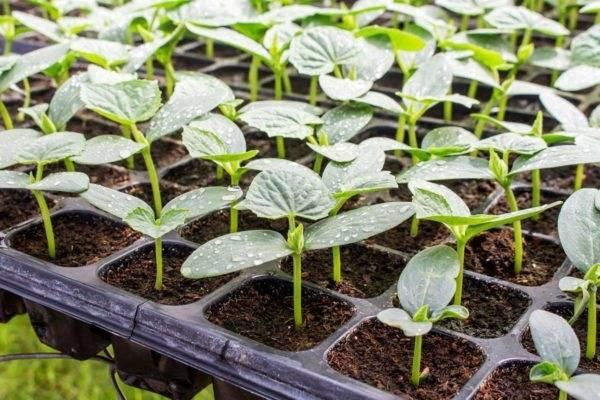 Рассада огурцов в опилках: выращиваем по новому методу