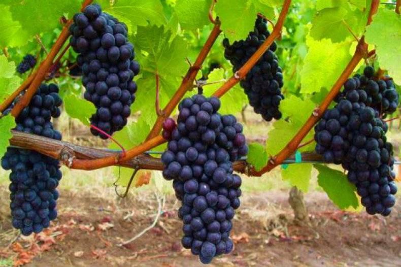 Посадка винограда: сроки, расстояние, подготовка ямы и высадка саженца в открытый грунт, условия для подмосковья и сибири | (фото & видео) +отзывы