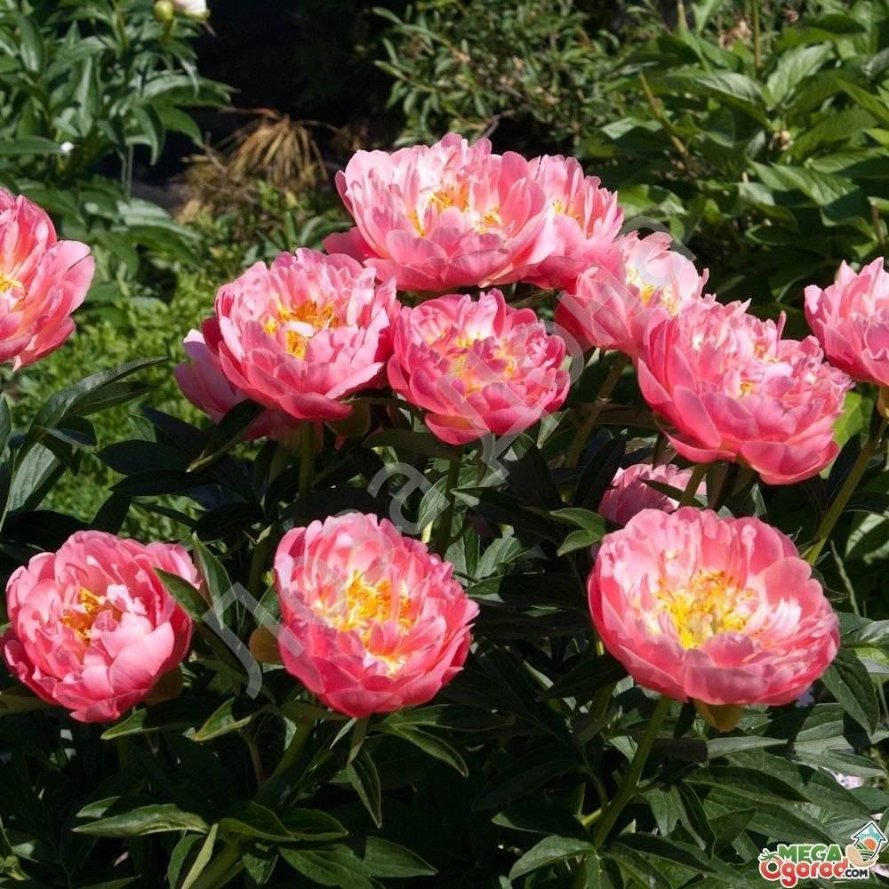 Когда обрезают пионы после цветения? нужно ли обрезать пионы после цветения?