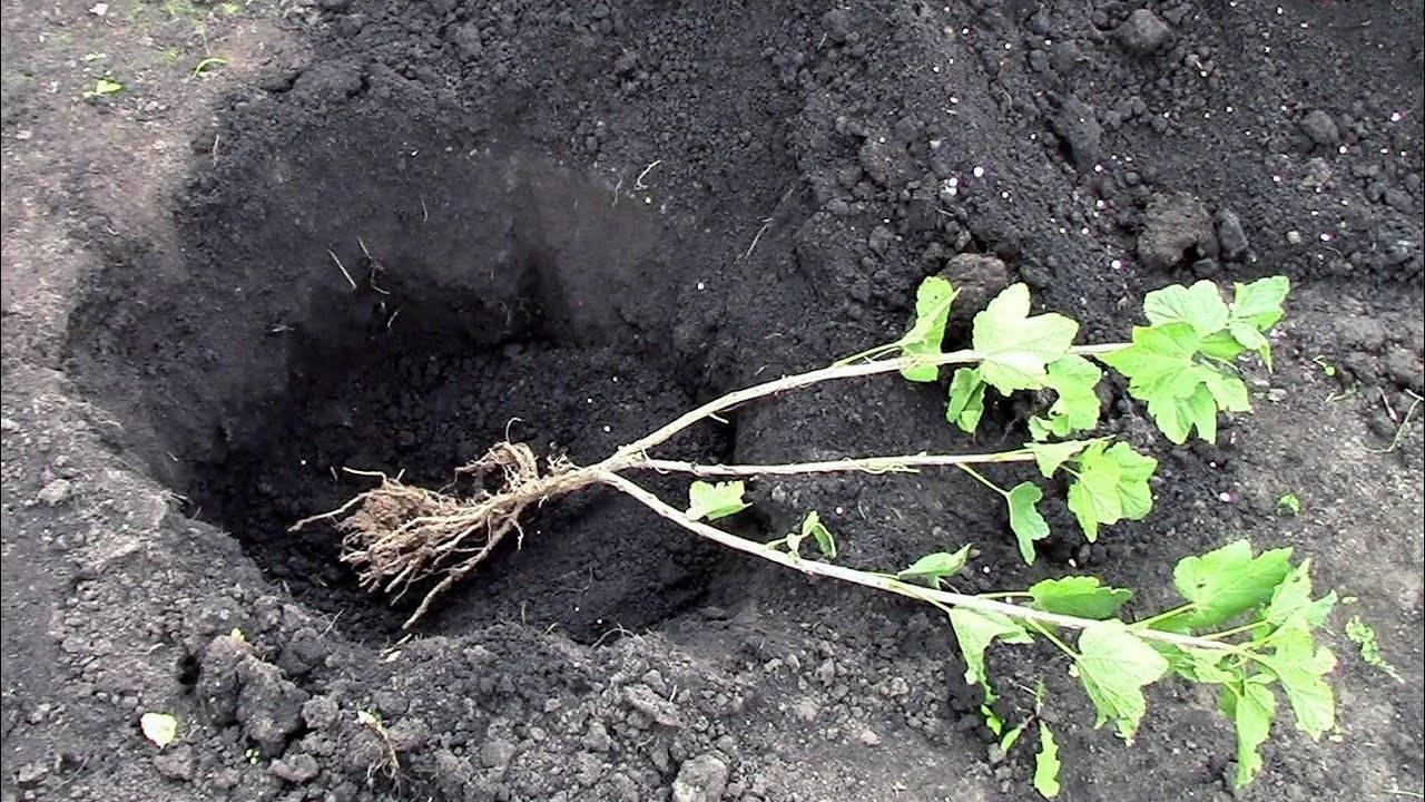 Как правильно посадить смородину: инструкция