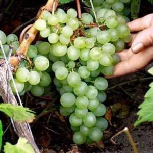 Неукрывные сорта винограда. сорта для беседок, арок, аллей, балконов (с фото)