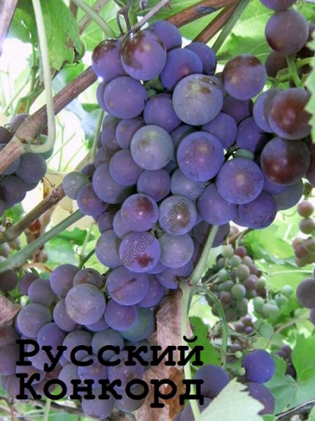 Виноград коринка русская: селекция, описание сорта, посадка и уход, достоинства, отзывы