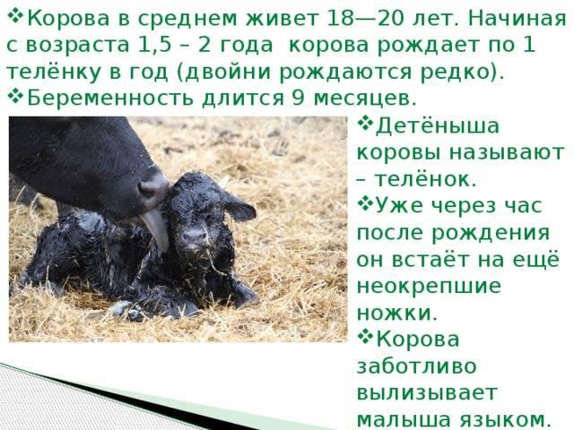 Стельность – как протекает беременность коров