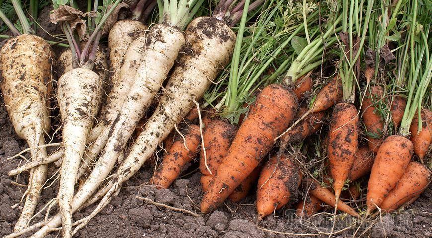 Сеялка ручная для моркови и других мелких семян. конструкция устройства для более точного высева моркови