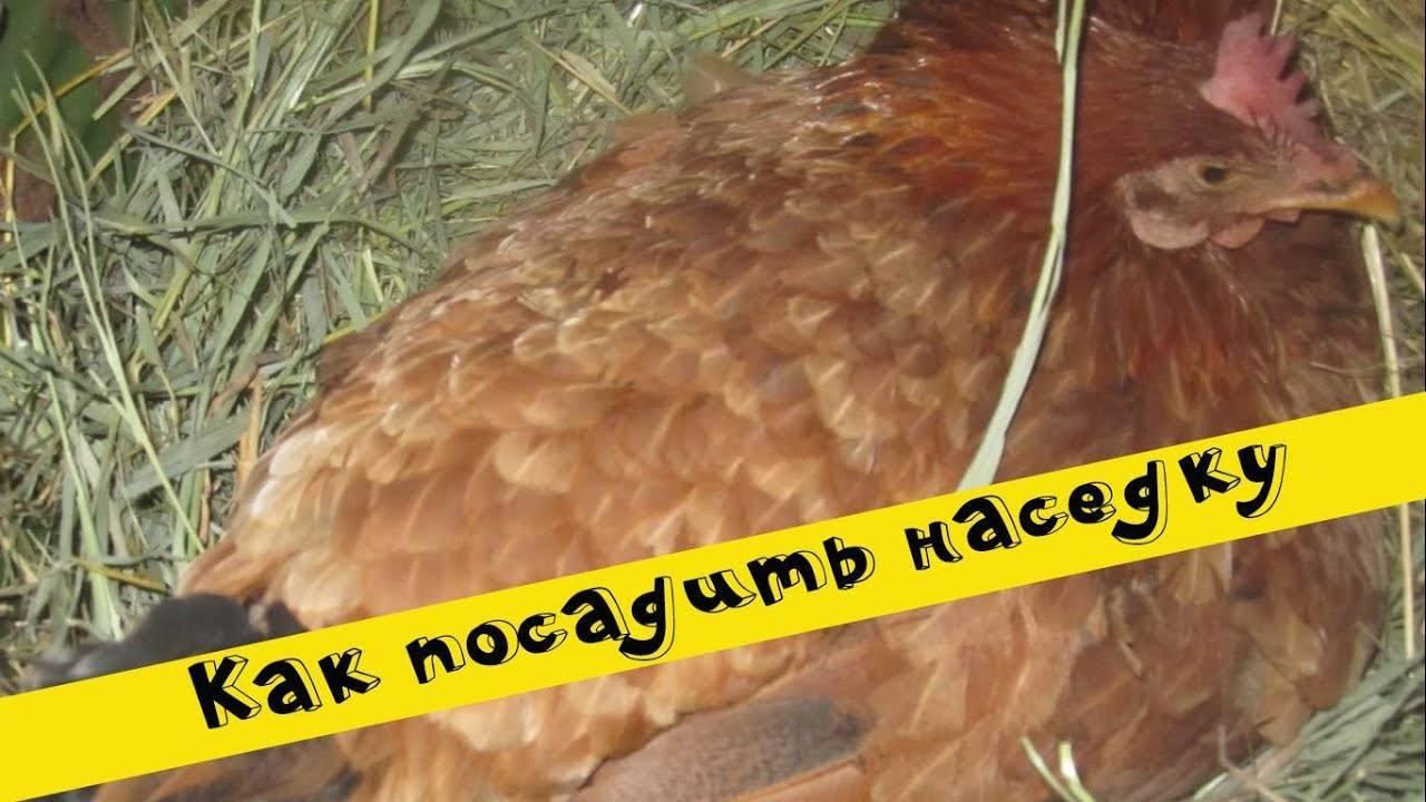 Курица села высиживать яйца зимой, что делать?
