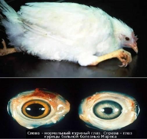О болезни Марека у кур и цыплят: симптомы и лечение заболевания птицы