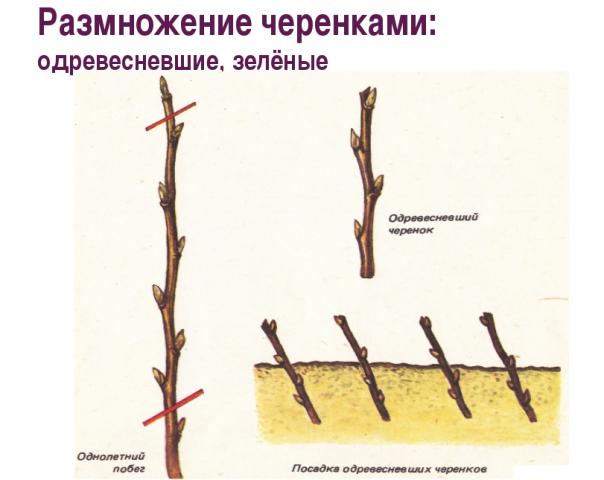 Размножение яблони черенками и отводками