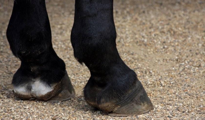 Анатомо-физиологические особенности копыта лошади