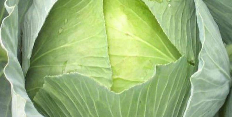 Капуста три богатыря: отзывы кто сажал, описание и характеристика белокочанного сорта, фото семян