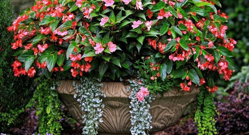 Бегония вечноцветущая: уход ипричины плохого цветения