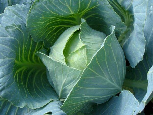 Тонкости выращивания белокочанной капусты
