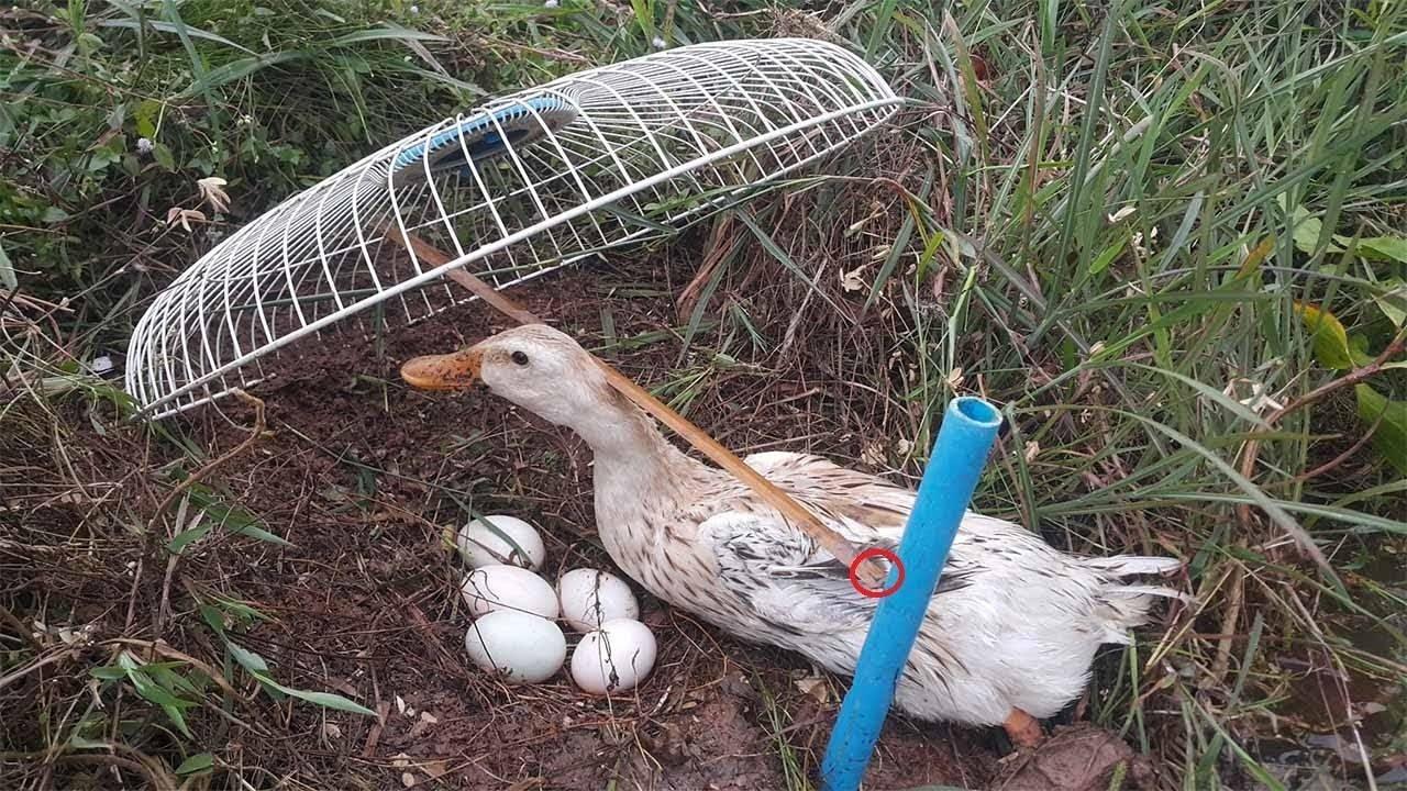 Как поймать дикую утку живой
