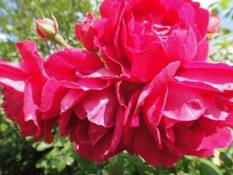 Аскеты мира роз — розарий канадской селекции легко