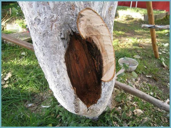 Как правильно заделать дупло в яблоне – практическое руководство для новичков