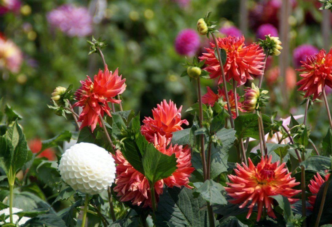 Георгины на даче, выращивание, уход - фото примеров
