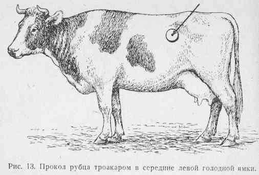 Тимпания крс. опасность и лечение тимпании рубца или вздутия у коров