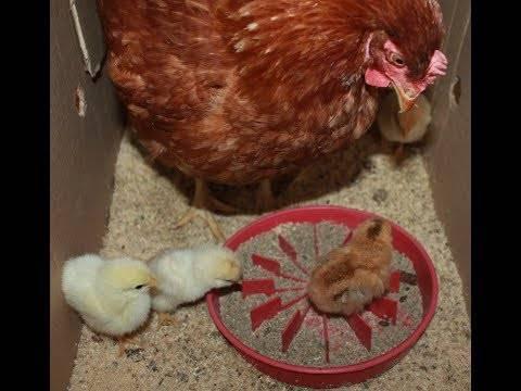 Расклёв или цыплята клюют друг друга. способы решения, советы и рекомендации