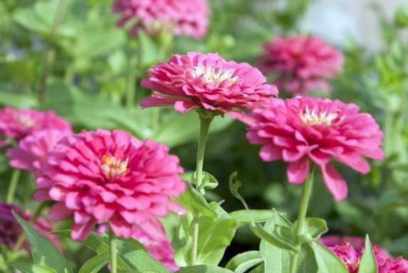 О цинии: что за растение, описание, как выглядит, однолетняя или многолетняя