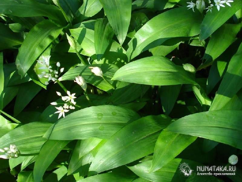 Все о черемше: что за растение, как выглядит, полезные свойства и витамины