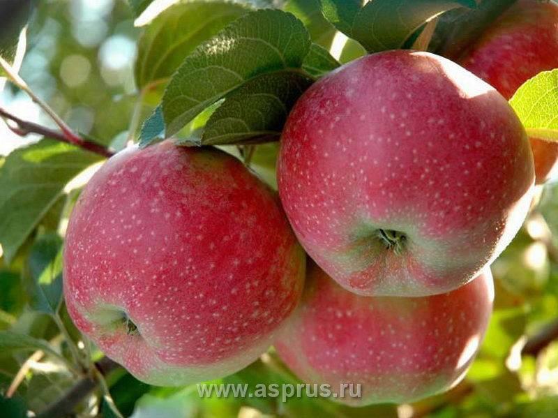 Главные особенности выращивания яблок спартан