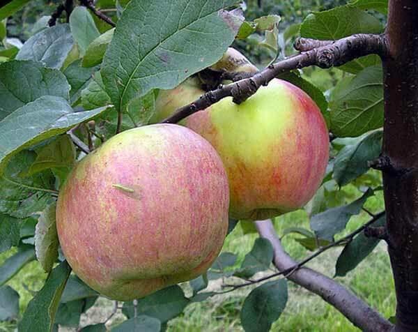 Как посадить яблоню
