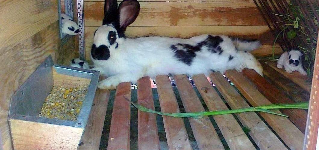 Маточник для кроликов: что это такое и как его сделать своими руками?