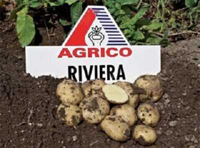 Картофель ривьера: выращиваем голландский сорт