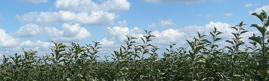 Размножаем яблони — все способы размножения яблоневых деревьев