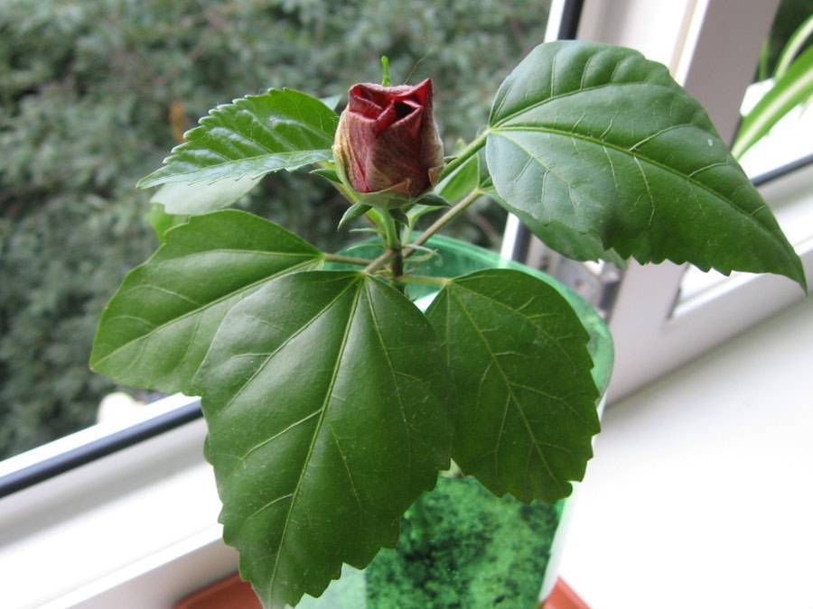 Китайская роза — уход и посадка в домашних условиях