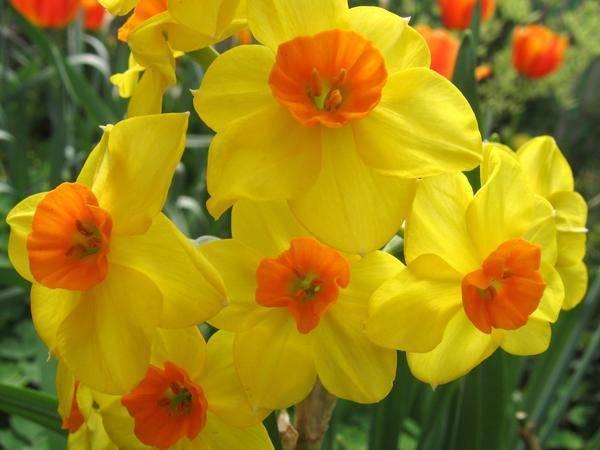Весенний цветок нарцисс: фото и описание растения, посадка и уход, лучшие сорта нарциссов