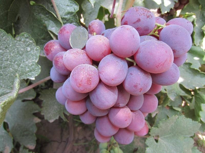 елец сорт винограда низина куст с урожаем фото всего