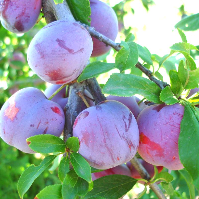 Алыча гибридная – выращивание, формировка и обрезка