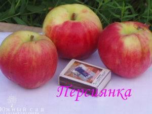 Слаборослая и иммунная к парше яблоня поспех